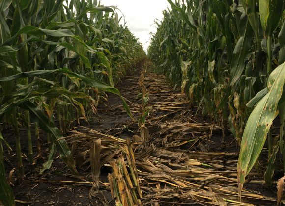 Seed Corn Extra – Male Destroy